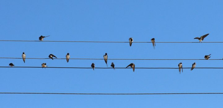 The Swallows Are Back!